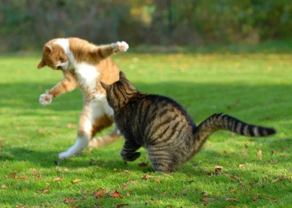 Почему коты дерутся
