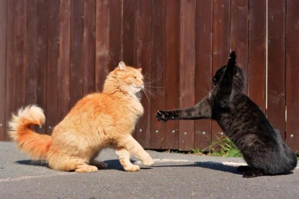 Почему кот дерётся с кошкой