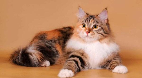 Для каких пород котов характерен трехцветный окрас