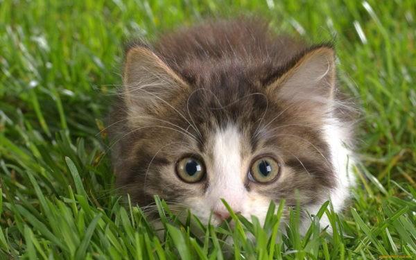До какого возраста можно кастрировать кота