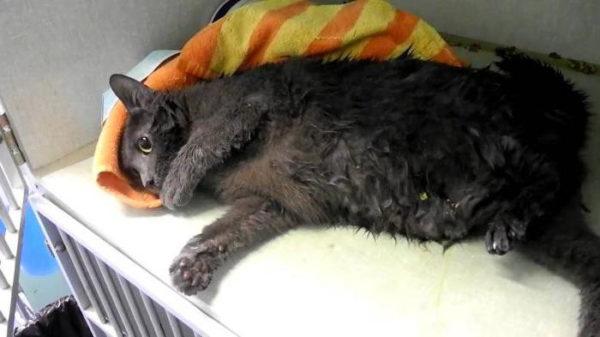 Судороги у кошки: причины