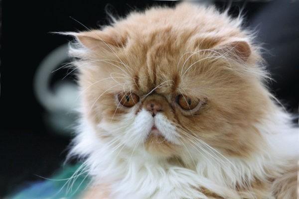 Коты и кошки с приплюснутой мордой