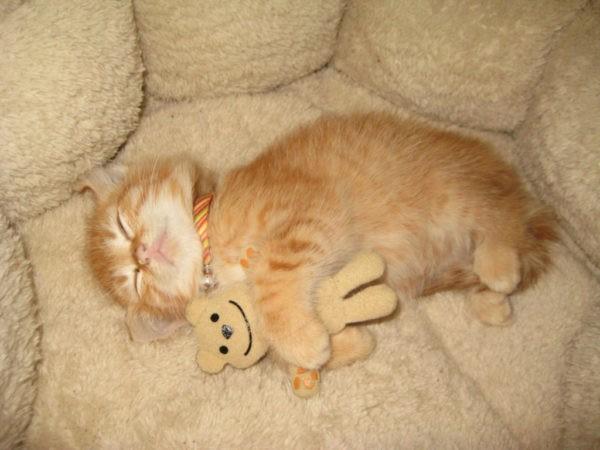 Нормы продолжительности сна у котенка