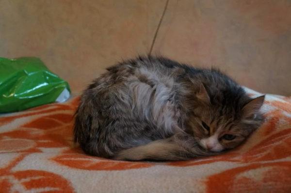 Кошка не ест несколько дней, вялая: первая помощь