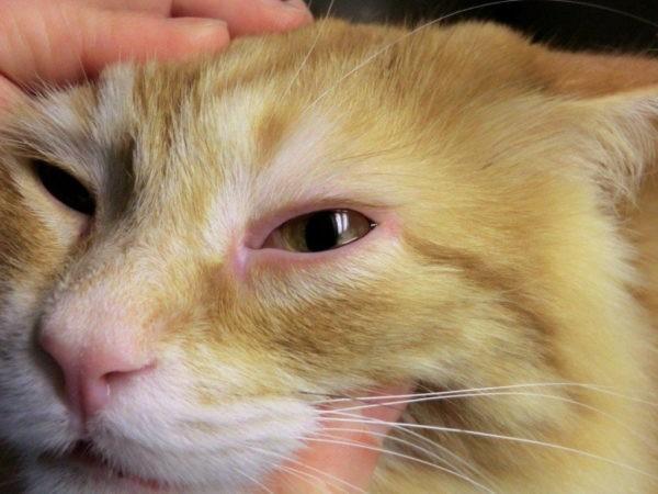 У кота воспалился глаз: что делать, лечение