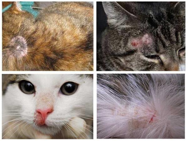 Передается ли лишай от кошки к человеку?