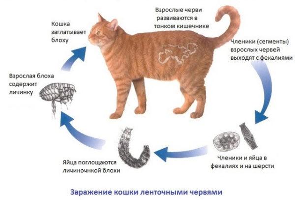 Виды глистов у кошек