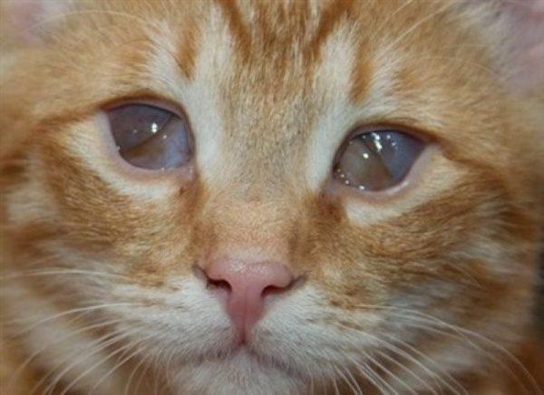 Третье веко у кошки: причины возникновения
