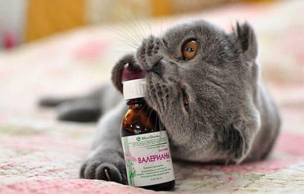валерианка для кошек