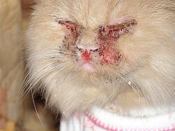 Кошачий грипп.