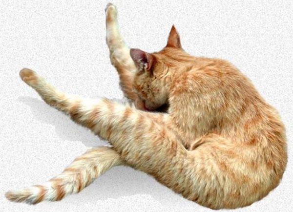 Из-за чего кошка может вылизывать под хвостом