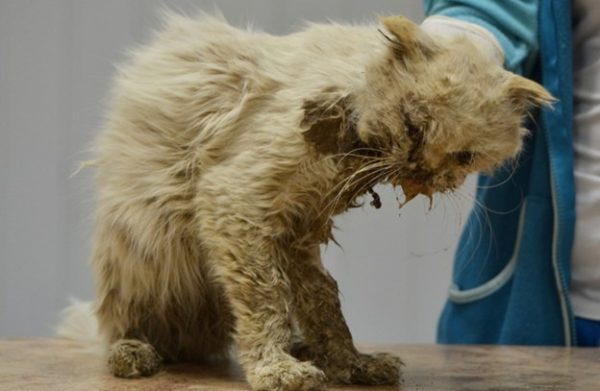 Лейкемия у кошки.