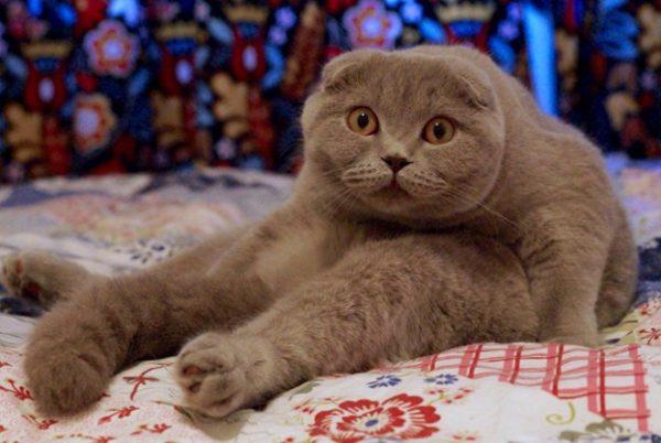 Сколько живут шотландские вислоухие коты?