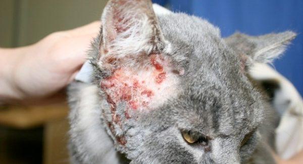 Аллергия на корма или атопический дерматит