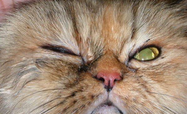Из-за чего кошка может щурить один глаз?
