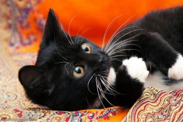 Особенности расцветки черно-белых котов