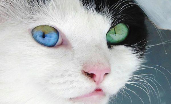 Классификация черно-белых окрасов котов