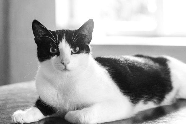 Типы черно-белых окрасов котов
