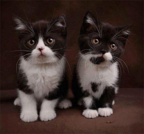 Разведение биколорных котят