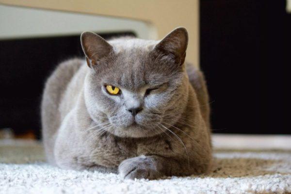 Вредные привычки британских кошек