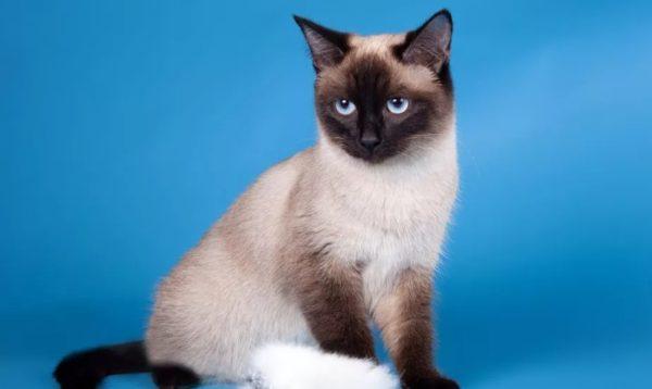 Окрас тайских кошек сил пойнт