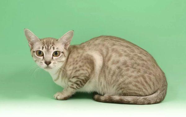 окрас кошки табби