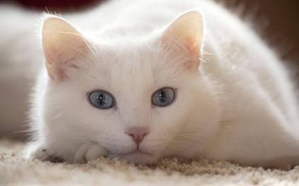 Лигфол для кошек